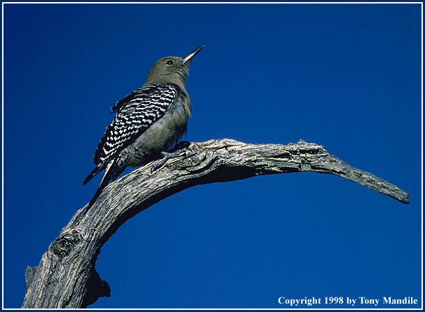 Gila Woodpecker TM