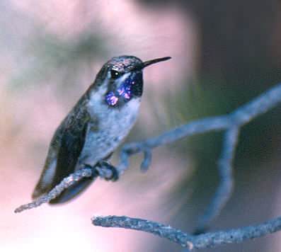 Black-Chinned Hummer-TM