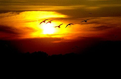 Snow Geese Sunset
