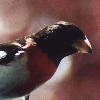 Rosebreasted Grossbeak
