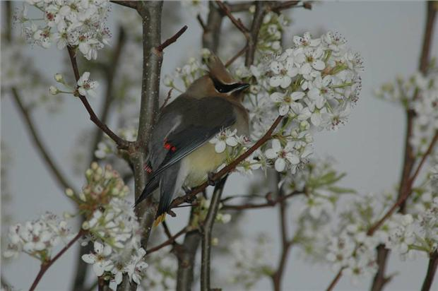 Waxwing in Pear