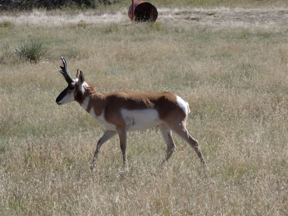 Nice Pronghorn Buck