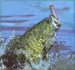 Jumping smallmouth.