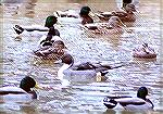 A lone Northern Pintail swimming among a flock of Mallards.