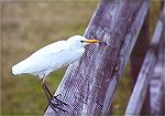A Cattle Egret on a wooden handrail.