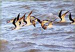 A flock of Black Skimmers hunting in the Florida Bay.