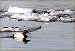 A Canvasback swimming among drifting ice.