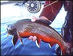 Close up image of a beautifully colored brook trout I caught in the Eagle River watershed area of Labrador.