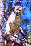 An Arizona mountain lion taking refuge in a ponderosa pine.