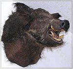 Tony Mandile''s Russian boar. The tongue and mouth parts are plastic, but teeth and the tusks are the real ones.