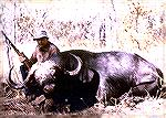 Cape buffalo taken in Zambia''s Luangwa Valley, 1983Cape buffalobill quimby