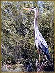 A great blue heron, looking for its next meal, sits alongside Lake Pleasant in Arizona.