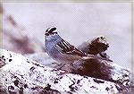 A White-crowned Sparrow on some driftwood.