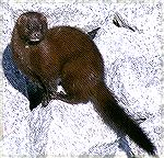 Minks are hard to find.  We found this one at Harris Neck Wildlife Refuge in Georgia.  Copyright 2004 Steve Slayton.