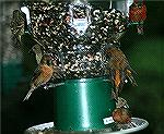 Red Crossbills cane to this feeder in the mountains of Georgia. Copyright 2005 Steve Slayton.