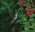 Ruby Throated in Red Flowers at Gaither Plantation Festival.  Copyright 2005 Steve Slayton.