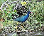 This Purple gallinule picture was taken at Lake Kissimmee In Florida. Copyright 2004 Steve Slayton.