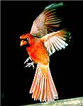 I got this shot late in the evening of A Cardinal at my Feeder.  Copyright 2006 Steve Slayton.
