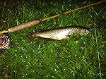 Here's another arrowana on a white mudddler in the night.